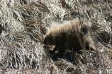 A porcupine in April strolls across the previous year's tried grass