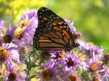 Monarch butterfly and New England Asters