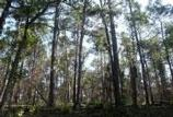 The forest has regrown many of the small plants and shrubs. The large pines remain healthy.