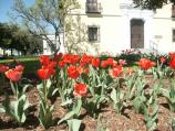 Closeup of red tulip bed in front of park headquarters building