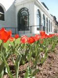 Three rows of red tulips in a bed in the yard of the Maurice Bathhouse, which can be seen in the background.
