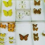 Butterflies and moths in HOSP collection