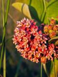 Milkweed in full bloom, they are very fragrant