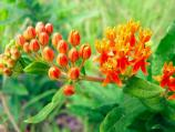 Close up of Butterfly-weed in flower