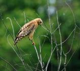 Red Shouldered Hawk at Beverly Drive and Broadway Drive