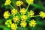 Golden Alexanders growing in the Dunes.