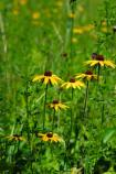 Black-Eyed Susans growing in the Dunes.