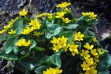 Marsh-Marigolds growing in the Dunes.