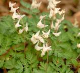 Dutchman's-Breeches growing in Herons Rokkery.
