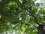 Canopy shot of a butternut (white walnut) tree with branches and many small leaflets