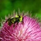 A bee sitting on a thistle flower