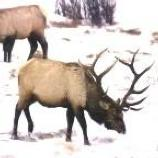 Elk in snow