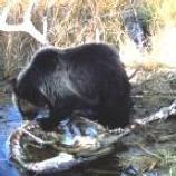 A Black Bear eatting by the river