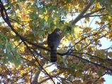 Coopers Hawk in the Lincoln neighborhood