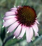Closeup photo of purple coneflower.