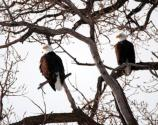 A pair of bald eagles in a tree