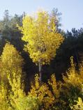 The coming of autumn is marked by the turning of the aspen to bright yellow-gold.