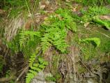 Ferns are plentiful in the canyons and along spring branches.