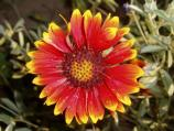 Indian Blanket is a native flower in the Niobrara valley.