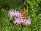 Wild bergamot with butterfly