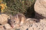 Bushy-tailed woodrat feeds on seeds of native plants.