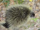 The porcupine is resident of the isolated pine forest along the river.