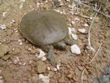 Softshell turtle on a rocky river bank