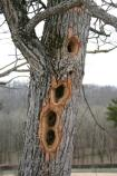 Holes made by a woodpecker in this dead tree.