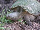 A snapping turtle laying eggs along the Circle Trail.