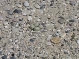 Piping plover nest on the beach near Platte River