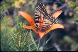 Photo of a Swallowtail Butterfly during a study of island populations of the Tiger Swallowtail Butterflies.