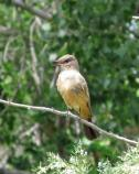 Say's phoebe singing.