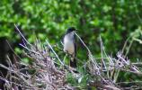 Eastern kingbird on a perch ready to catch insects
