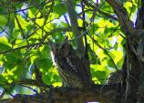 The Eastern screech owl is a small member of the owl family.