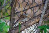 An adult chipping sparrow bringing a meal back to its chicks.