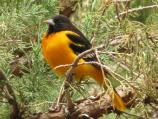 Baltimore orioles often nest in cottonwood trees, such as those in the park's campgrounds.