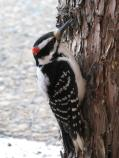 Hairy woodpecker foraging for insects in the bark of a juniper tree.