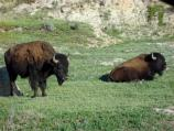 On hot summer days Bison visit prairie dog towns in Theodore Roosevelt National Park.