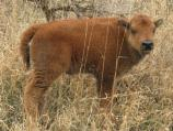 Calves are orange in color when they are born. They typically turn brown by their first winter.