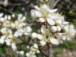The wild plum produces fragrant flowers in the spring and edible fruit in the summer. The flowers attract insects, which in turn attract insect predators such as the orange-crowned warbler.