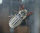 June beetle clinging to the window screen of the Cottonwood Campground Camptender's House