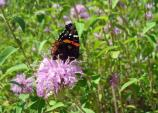 Red admiral butterfly on wild bergamot