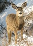 A mule deer fawn on a cold winter day.