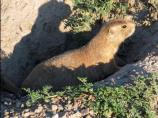 Prairie dogs clip plant material close to the ground as they feed. If they don't keep up with their