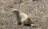 The Black-tailed Prairie Dog lives in Theodore Roosevelt National Park.