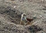 This young Black-tailed Prairie Dog looks up from his hole to see if any predators are around.