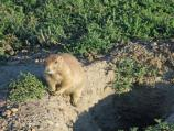 There are many Prairie Dog towns along the 36 mile loop road in the South Unit in Theodore Roosevelt National Park.