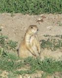 Visitors enjoy watching Prairie Dogs in Theodore Roosevelt National Park.