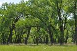 A row of tall, green cottonwood trees that fill the entire picture.
