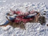 This white-tailed deer was recently killed by wolves. White-tailed deer are the primary food source for wolves, especially during the winter. Wolves will also sometimes eat moose, beaver, snowshoe hare, and other small mammals.